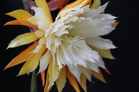 Epiphyllum.online
