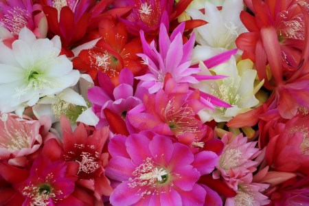 Package: 5 different Epiphyllum hybrids, yellow ones our choice