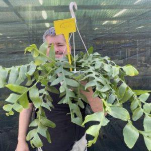 AAAG Large plant of Marniera (Epiphyllum) crysocardium C  (EU only)